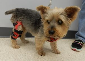 Koda, a 12 year old Yorkie, was fitted with a My Pet's Knee