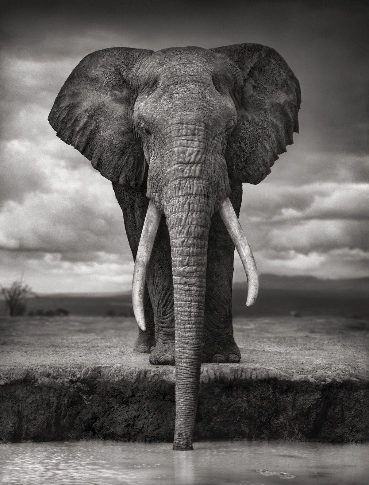 Très Éléphant – Ivoires – Noir et blanc – Nuages – Oreilles – Trompe  LU99