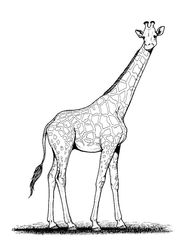 Coloriage Girage A Colorier Dessin A Imprimer Giraffe Colors