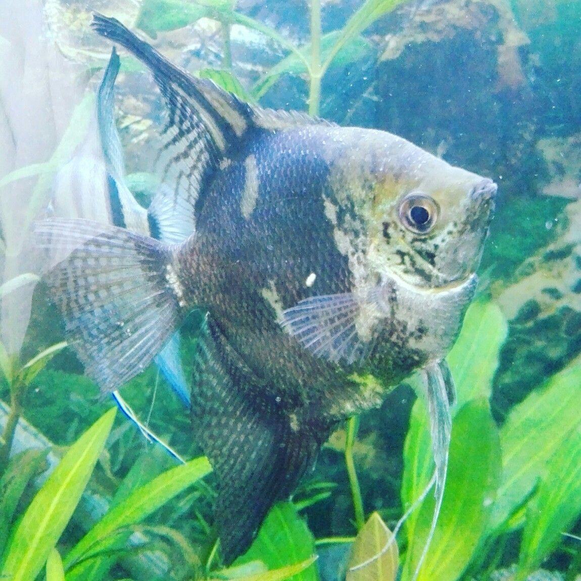 Angel Fish, Tropical
