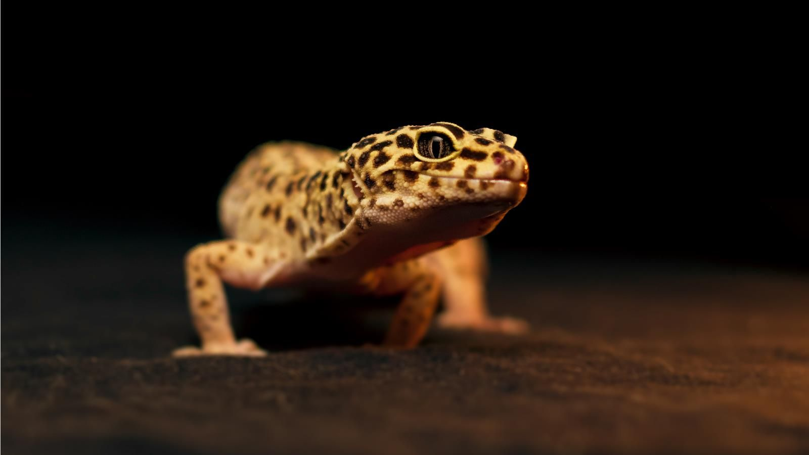 Leopard Gecko Lifespan as Pets (Care, Facts and Information ...