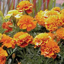 How to grow marigolds from seed | Growing marigolds ...