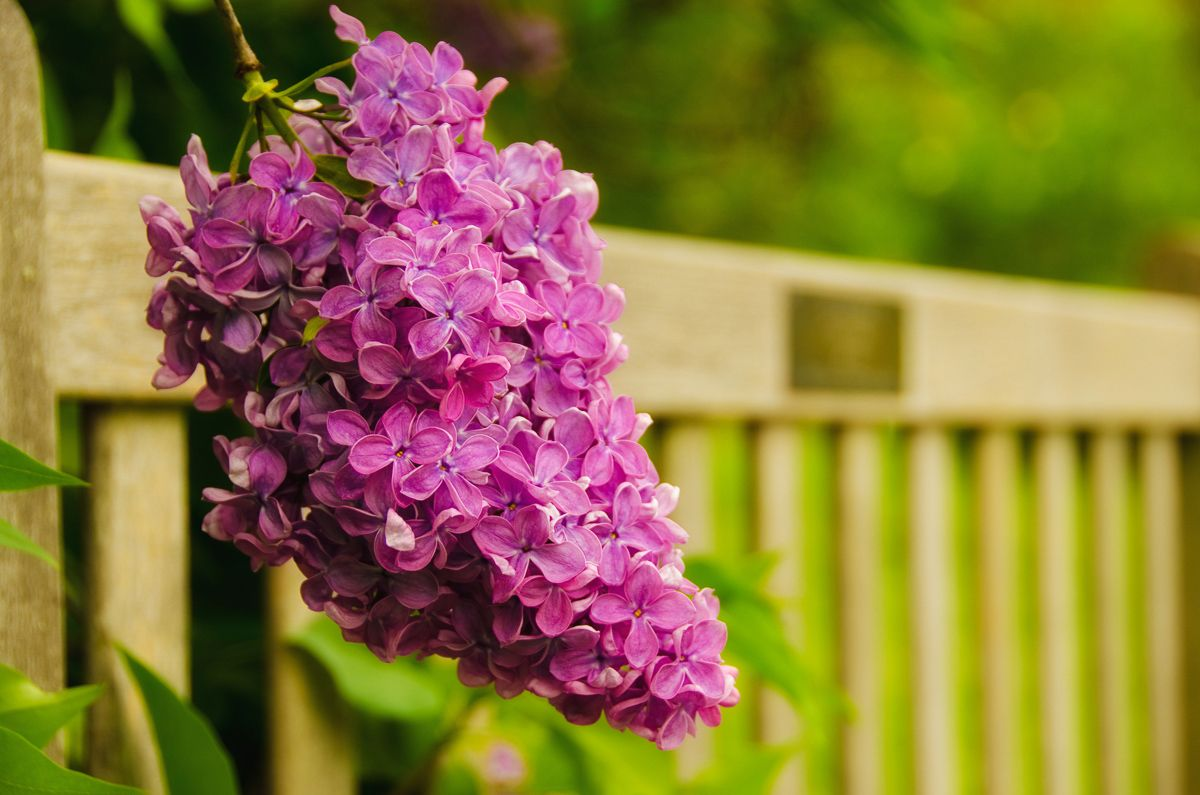 Nature Photograph: Park Bench with Lilac Wall Décor, Canvas Wraps ...
