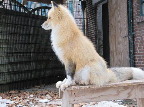 Domesticated fox I need obe