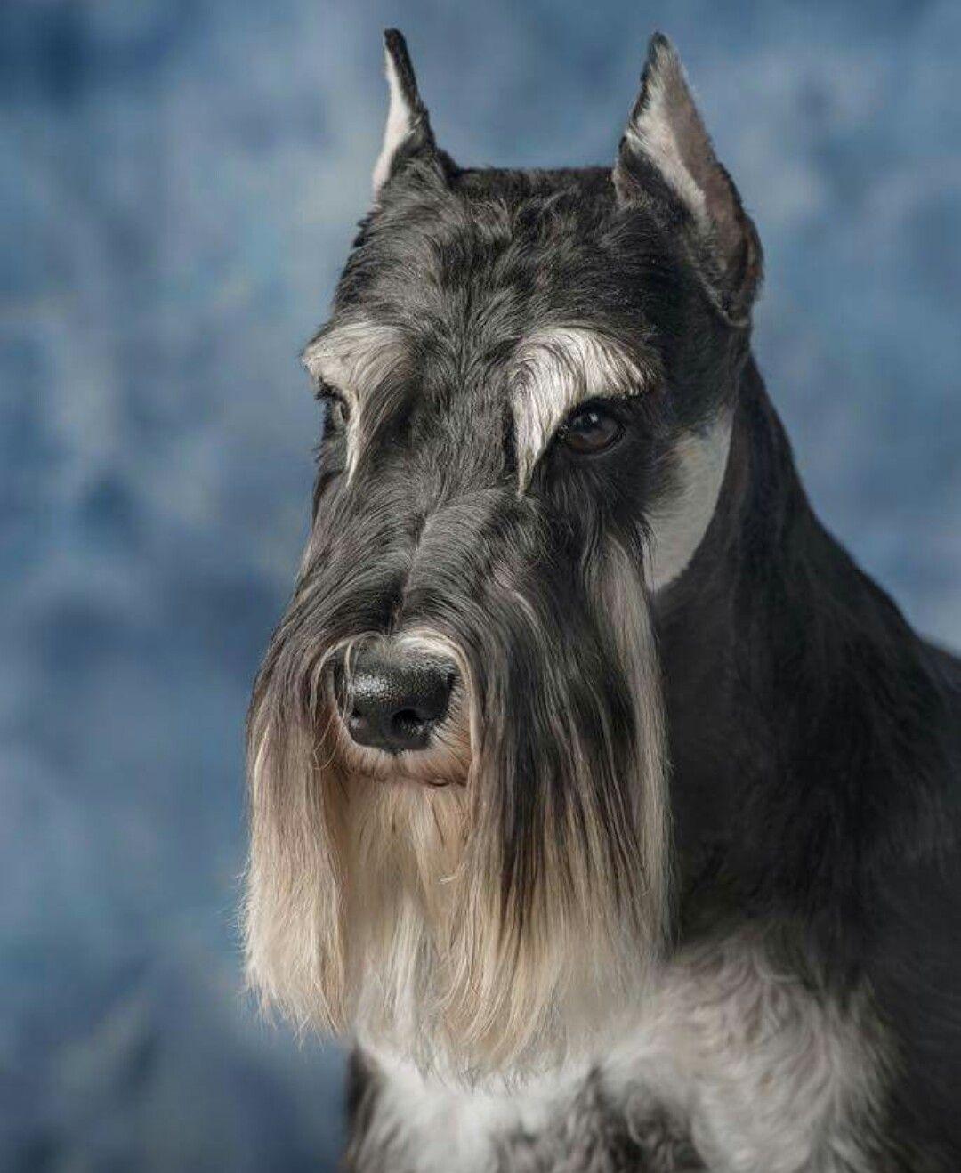 Schnauzer face | Schnauzer breed, Schnauzer, Dog grooming