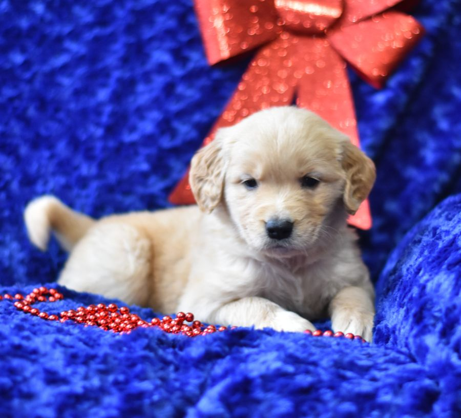 Are You Looking For A Lovable And Playful Dog Meet The Beautiful Golden The Goldenretriever Is Eventempered Int Puppies Popular Dog Breeds Lancaster Puppies