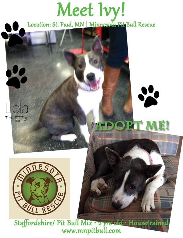 Ivy Adoptable Dog Of The Week Dog Adoption Pet Blog Pitbull