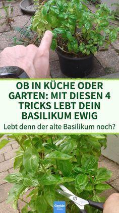 4 Tricks, mit denen dein Basilikum ewig lebt#basilikum #dein #denen #ewig #lebt #mit #tricks