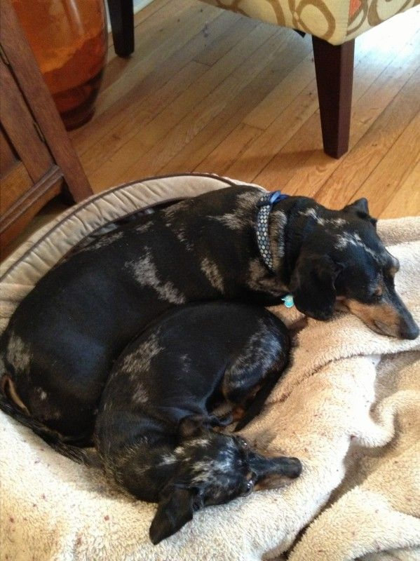 What doxies do best…*NAP*!