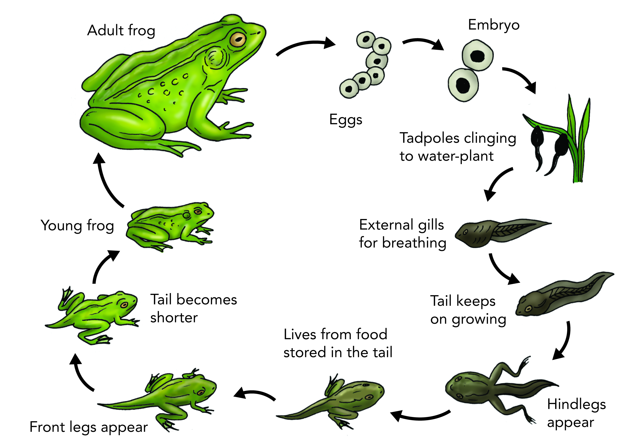 Pin by Fugara on biosphere Frog life, Lifecycle of a