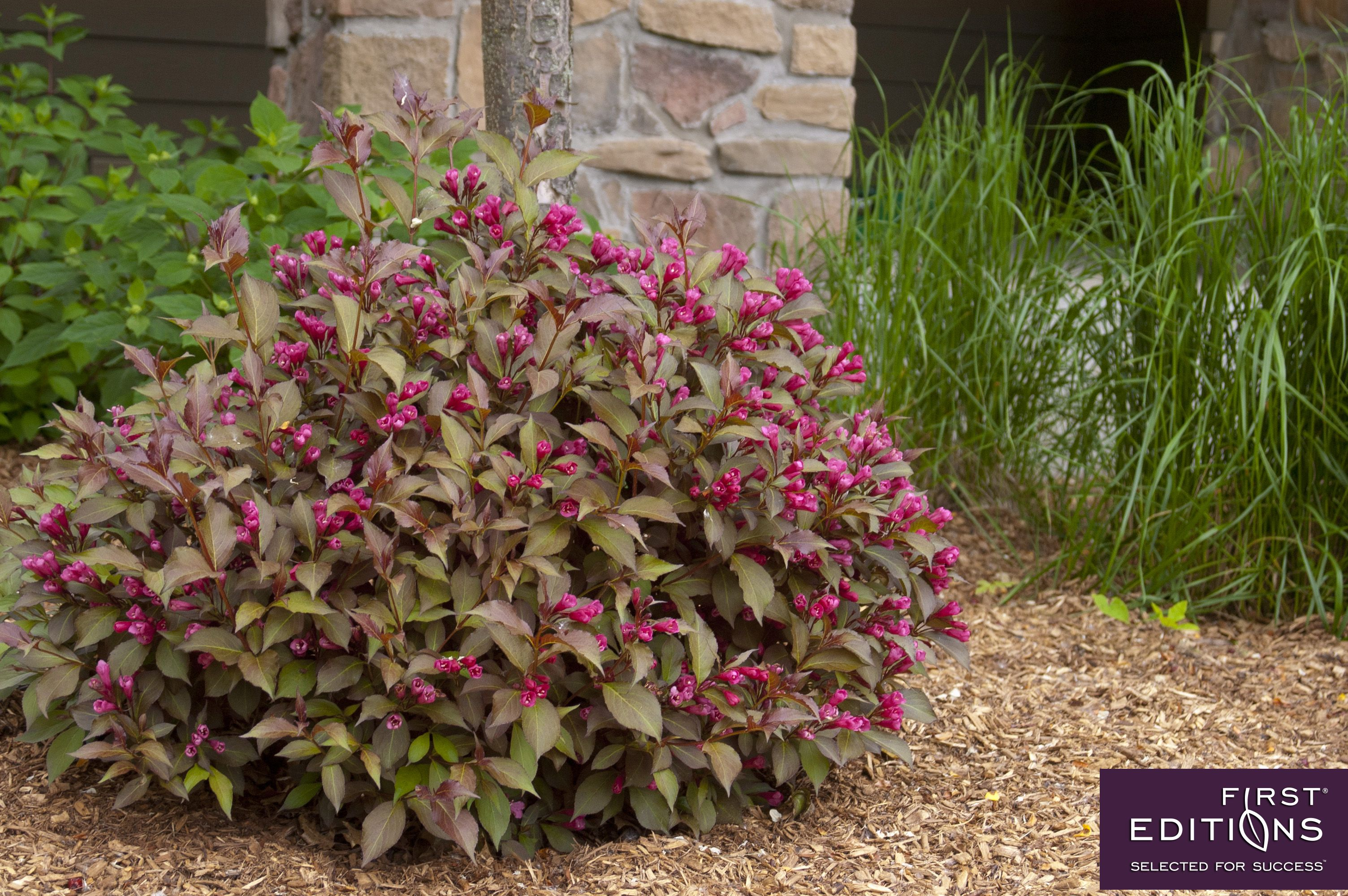 Shining sensation weigela is a blooming machine with for Flowering landscape bushes