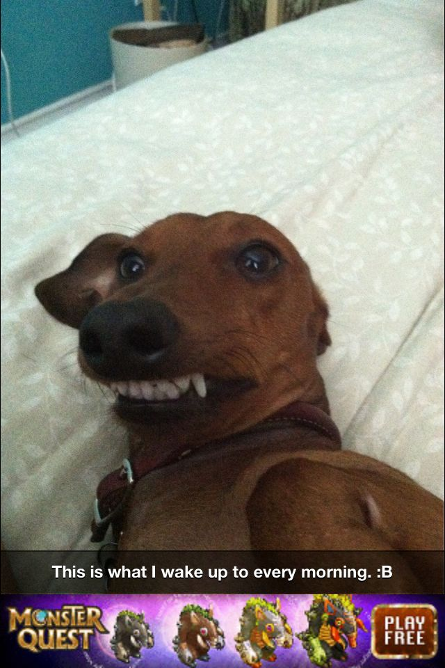 Dog Smile Meme : smile, Smiling, Wiener, Daschund, Puppies,, Funny, Animal, Pictures