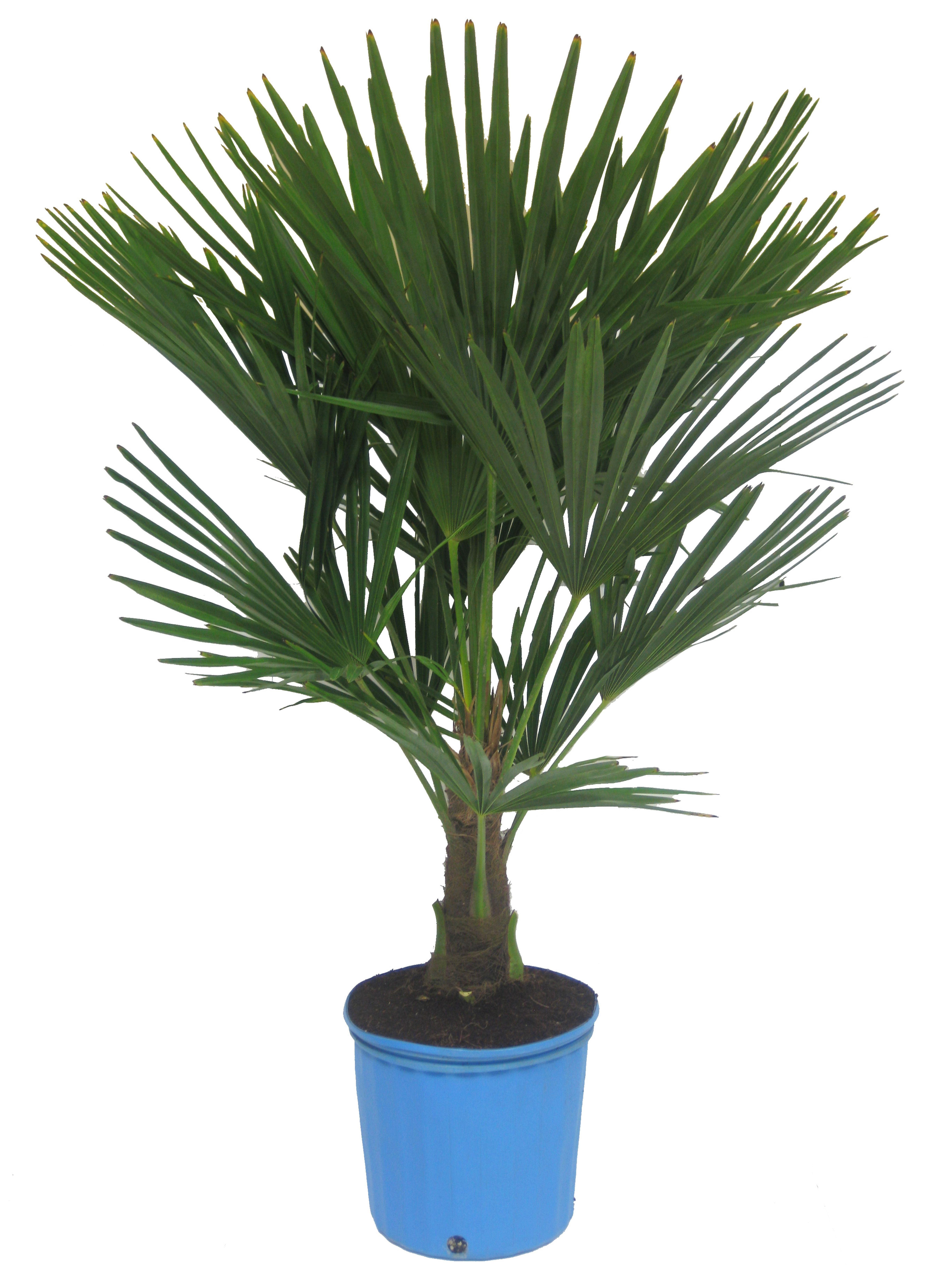 Trachycarpus fortunei [Windmill Palm] | Indoor Plant Info ...