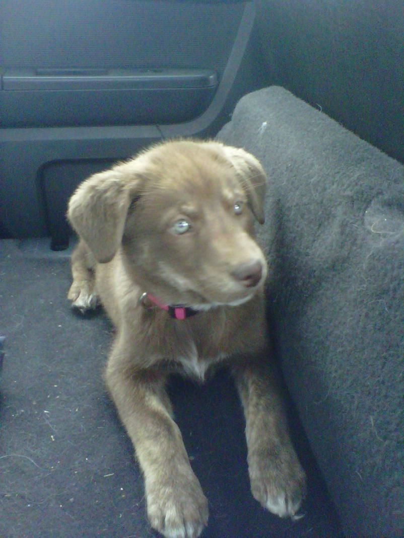 Siberian Husky Great Dane Dogs Mix Puppies And Kitties