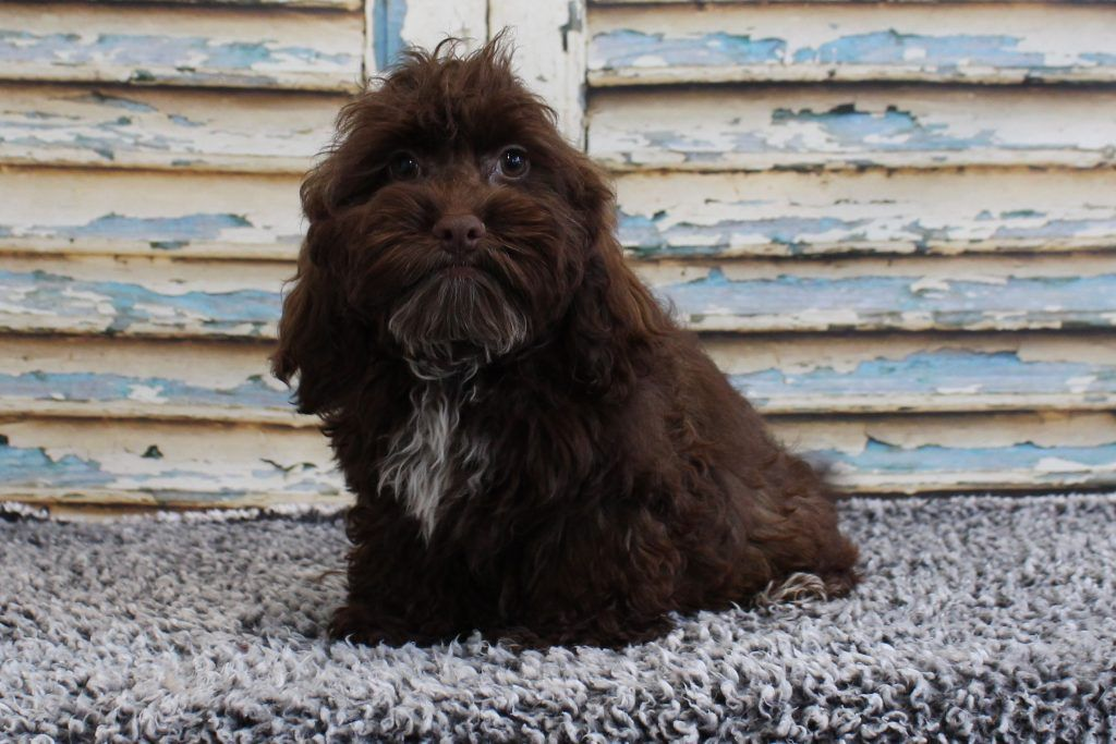 Mini & Small Breed Puppies for Sale Minnesota Valley