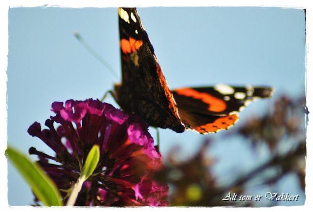 butterfly in my garden:o)