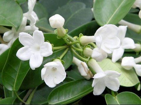 HOW TO GROW AND CARE FOR HOUSE PLANTS - STEPHANOTIS FLORIBUNDA