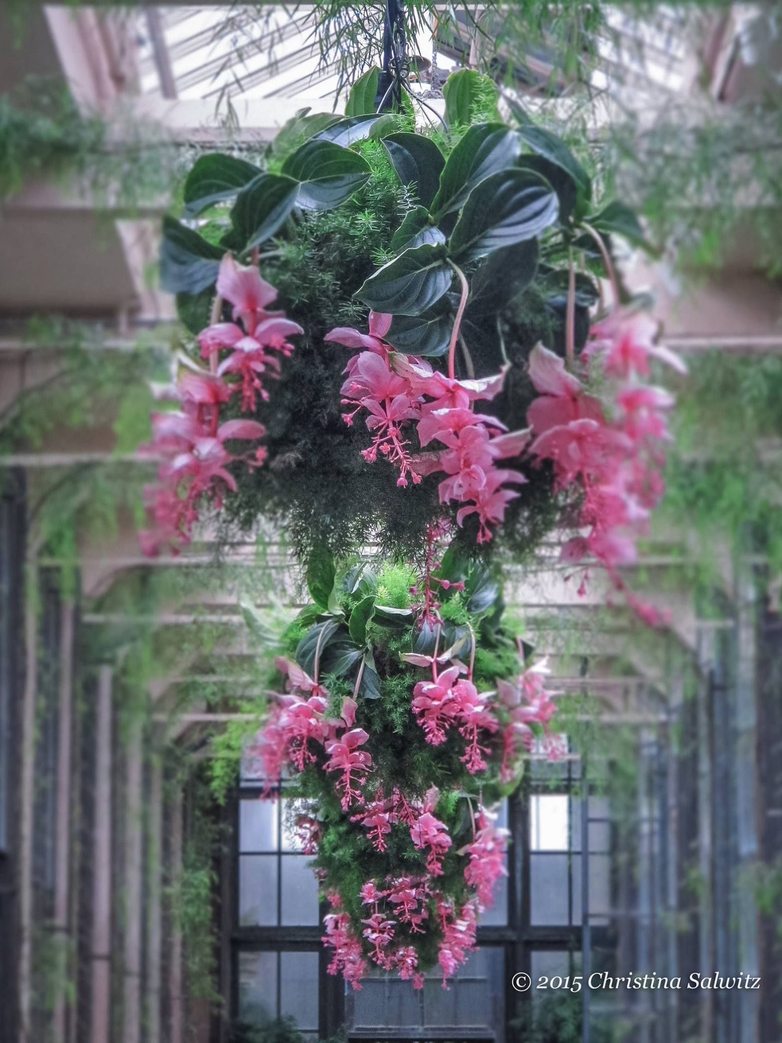 Indoor Plants And Flowers Medinilla Magnifica Christina Salwitz Personal Garden