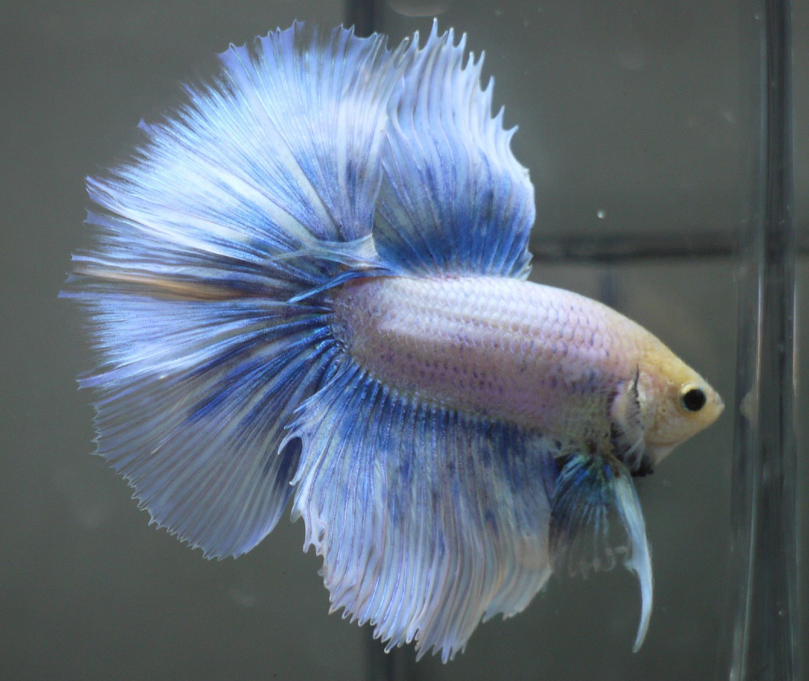 live tropical fish blue grizzle halfmoon betta e21 ebay
