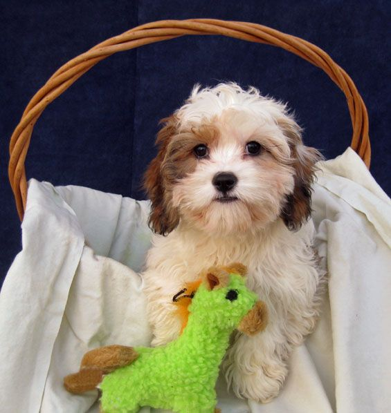Cavachon They Possess The Characteristics That So Many Folks Are Looking For In A Companion Or Family Dog That Is A Most Cavachon Puppies Cavachon Puppies