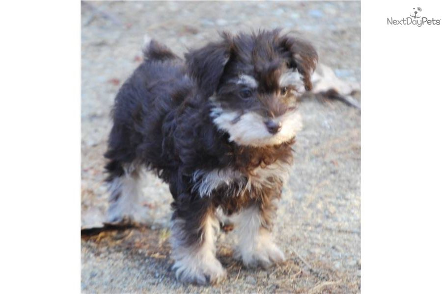 Free Schnoodle Puppies Male Schnoodle Schnoodle Schnoodle Puppy Schnoodle Puppies For Sale