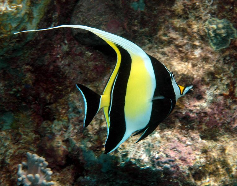 The moorish idol zanclus cornutus is a small marine fish for Small pet fish