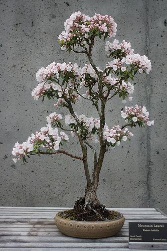 Bonsai Mountain Laurel Flowering Bonsai Tree Bonsai Bonsai