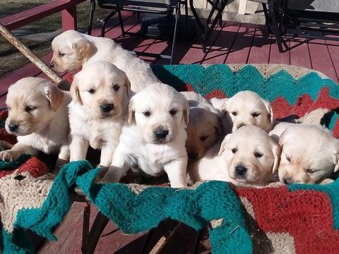 Litter Of 8 Golden Retriever Puppies For Sale In Cantril Ia Adn