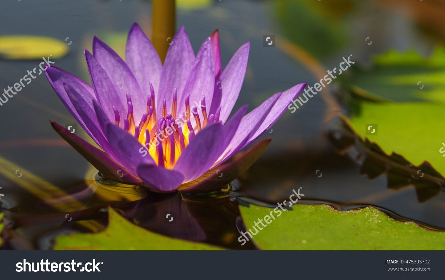 Closeup Lotus Flower Blooming Stock Photo 475393702 Shutterstock