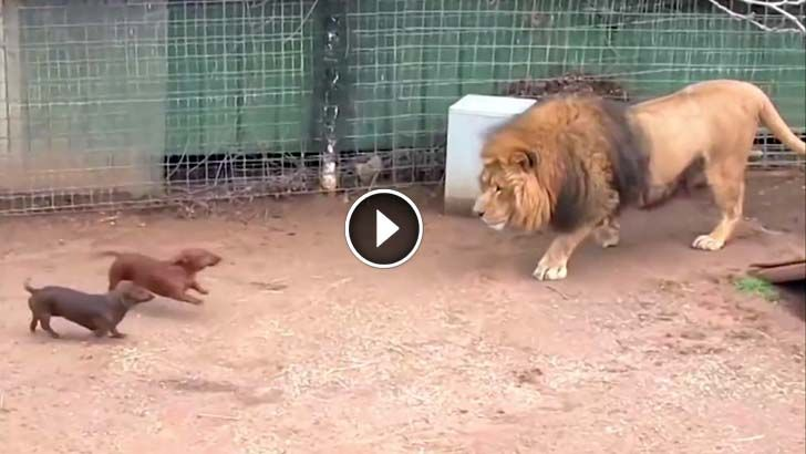 Massive Lion Come Face To Face With Tiny Wiener Dog The Lions