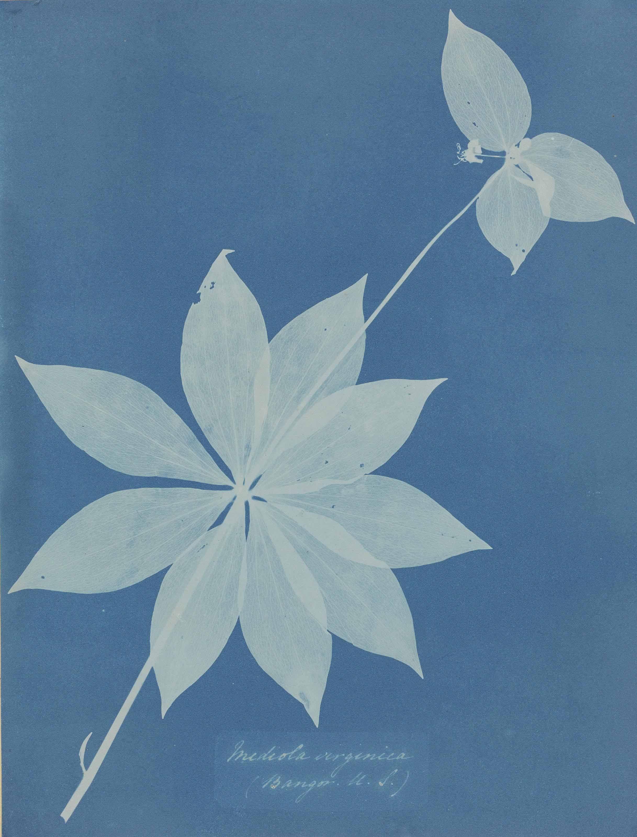 Anna Atkins Atkins Cyanotype Prints