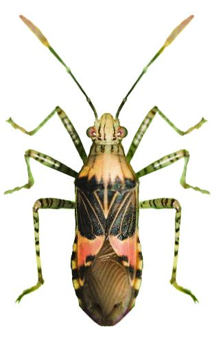 Hypselonotus punctiventris