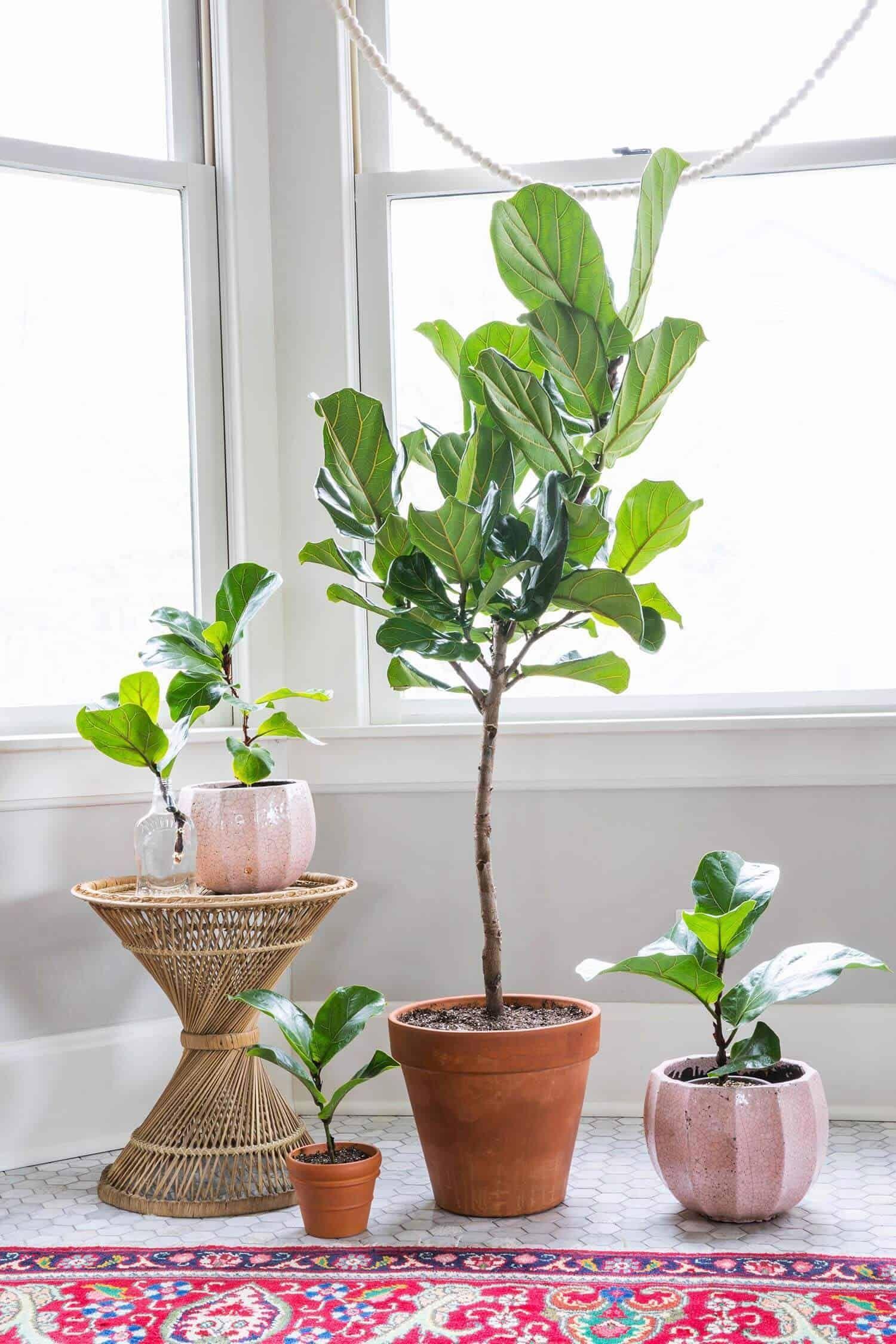 5 tips for caring for fiddle leaf figs fiddle leaf fig