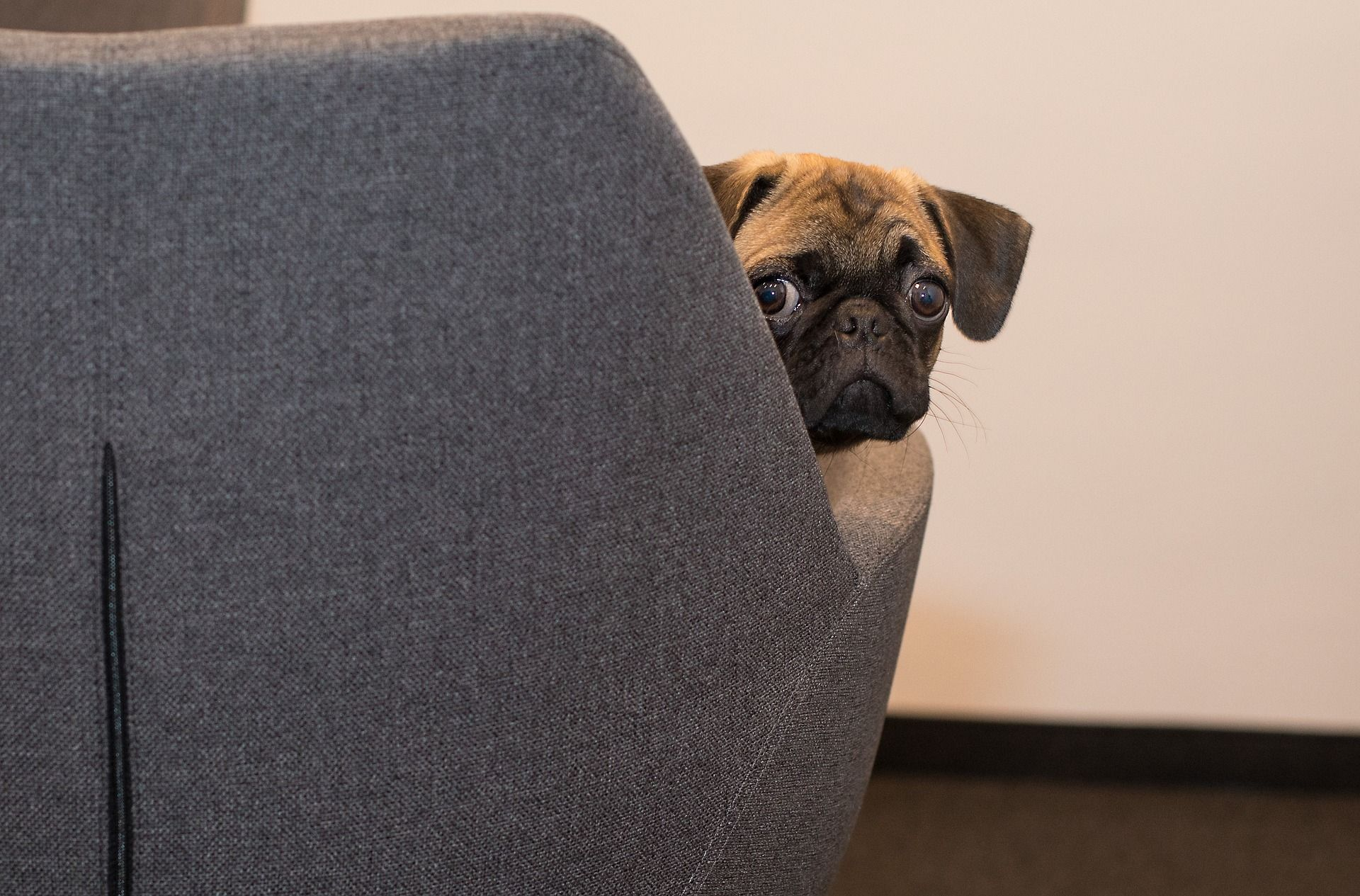 Cute And Funny Pug Peeking From The Chair Funny Dogs Puggle