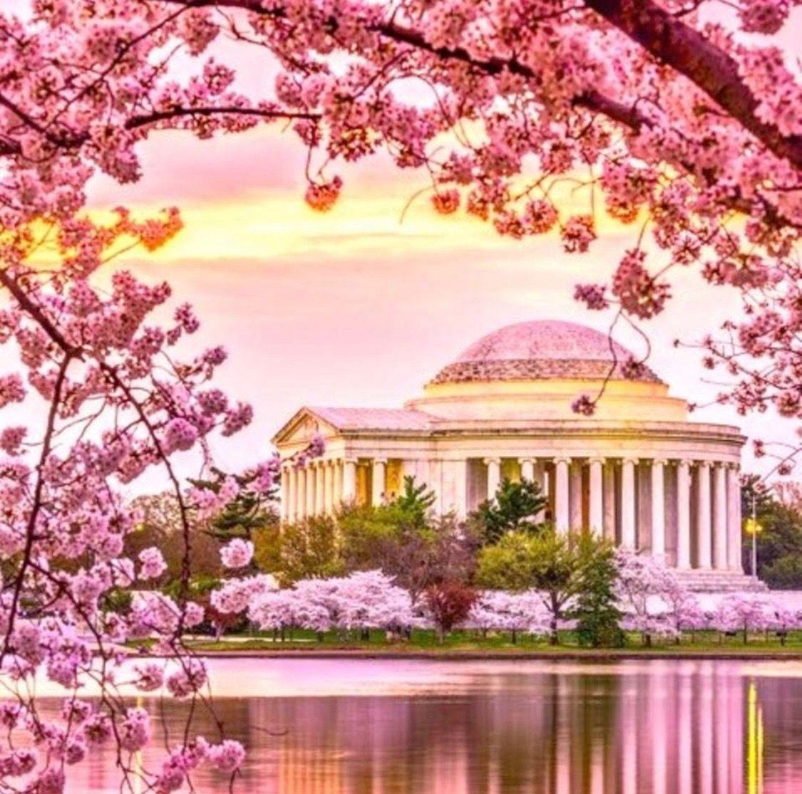 Presumably Taken By Oralia Soto Cherry Blossom Festival Dc Cherry Blossom Pictures Cherry Blossom Washington Dc