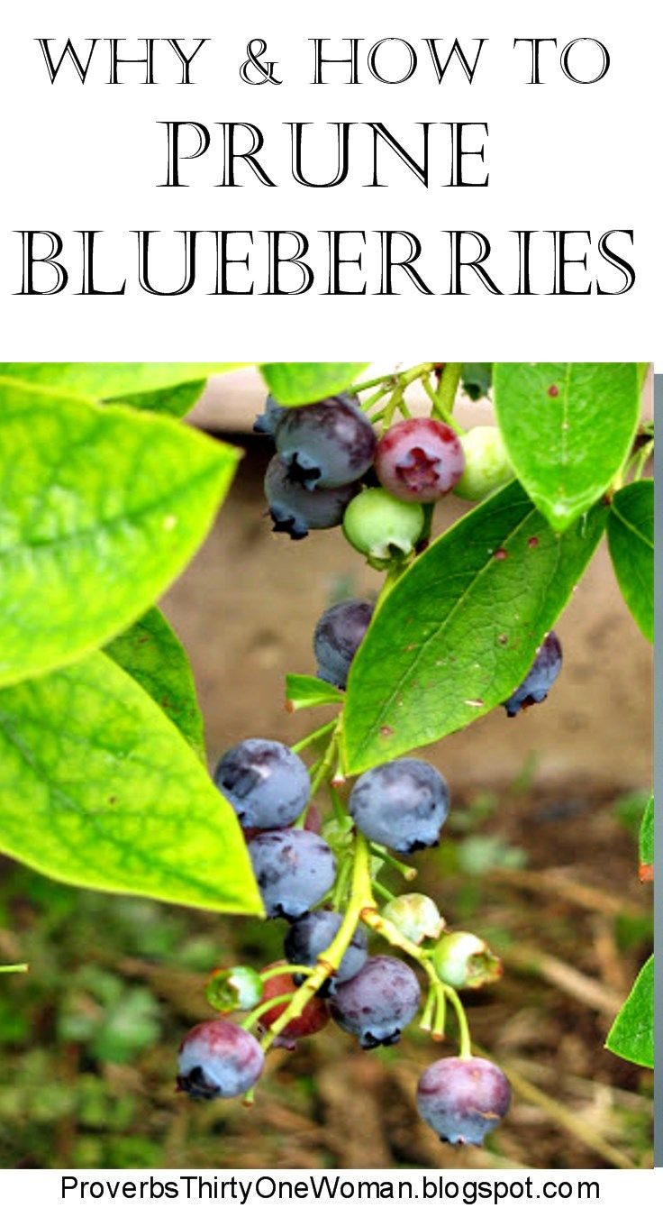Why and How to Prune Blueberries  Blueberry Gardens and Garden ideas