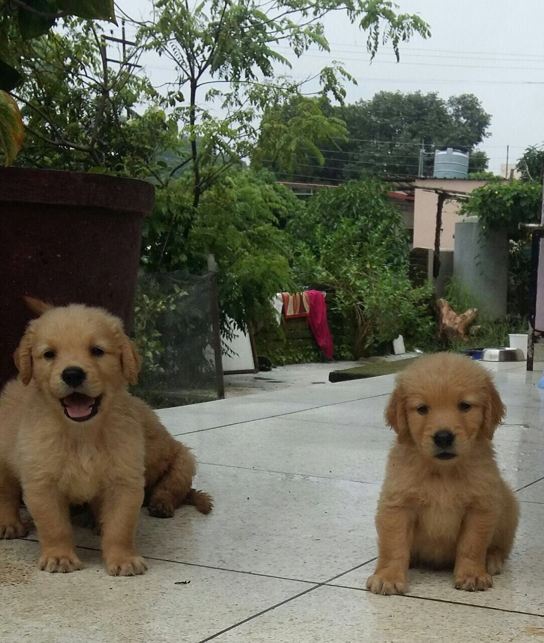 Goldenretriever Puppies Golden Retriever Puppies Pet Shop