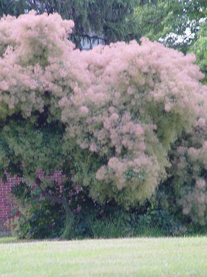 Cotinus obovatus American Smoke Tree from Prides Corner ...