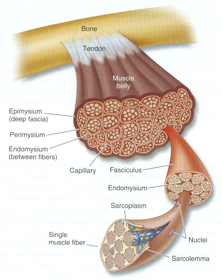 Diagram of muscle tissue. I love this. No wonder we are so strong ...