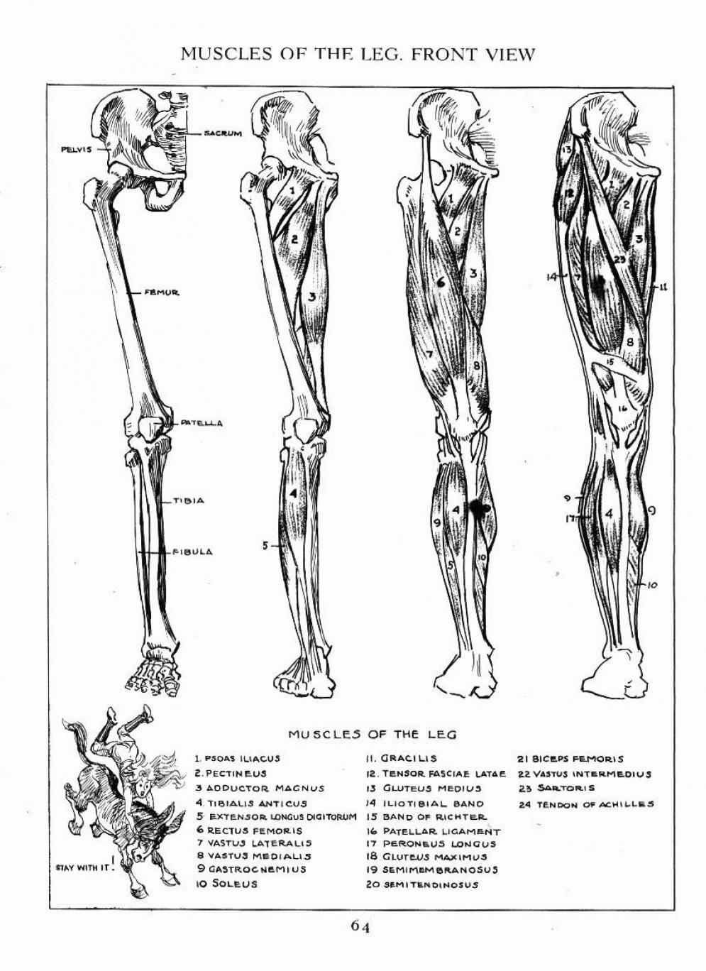 Andrew loomis leg