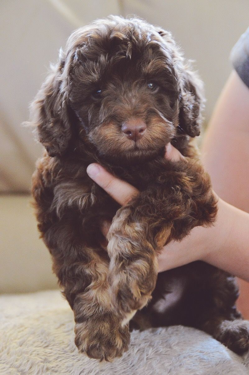 Chocolate Tan Cavoodle Puppy I Would Bring This One Home In A Heartbeat Dogs Cockapoo Puppies Puppies