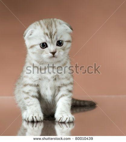Like A Winter Scene Camouflaged In Love Beautiful Kittens Kitten Breeds Scottish Fold