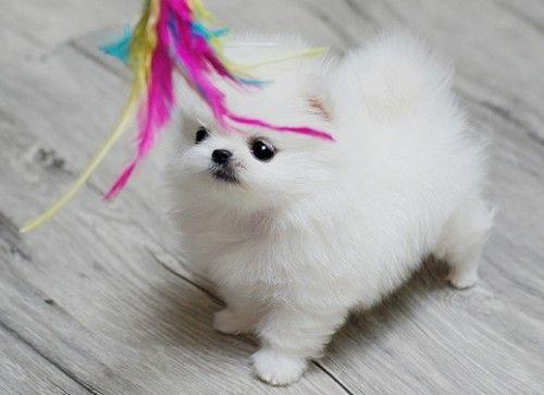 Teacup Pomeranian For Sale Pomeranian Puppy For Sale Pomeranian Puppy Teacup Pomeranian For Sale