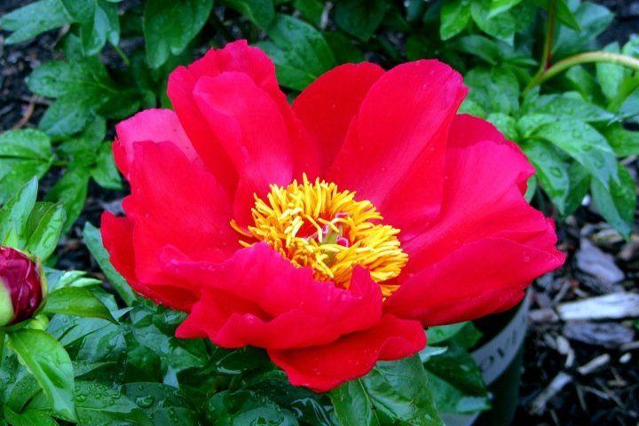 Red Hot Peony, no edits — #peonies #flowers #red #noedits #Random #garden #summer #nature #streamzoo #canon • LynnO on Streamzoo