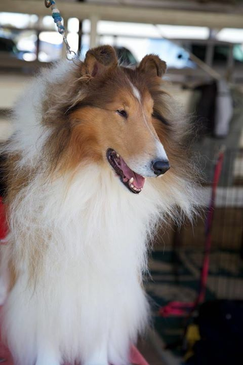 Pin By Betty Junus On Collies Rough Collie The Perfect Dog