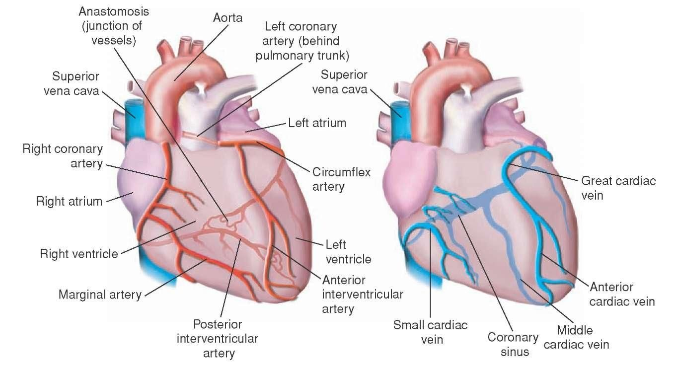 Coronary Arteries And Veins Google Search Ms Nurse Pinterest