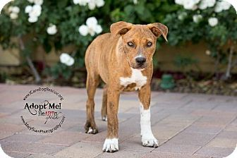 Rancho Santa Margarita, CA - Pit Bull Terrier Mix. Meet Alexa, a puppy for adoption. http://www.adoptapet.com/pet/10635698-rancho-santa-margarita-california-pit-bull-terrier-mix