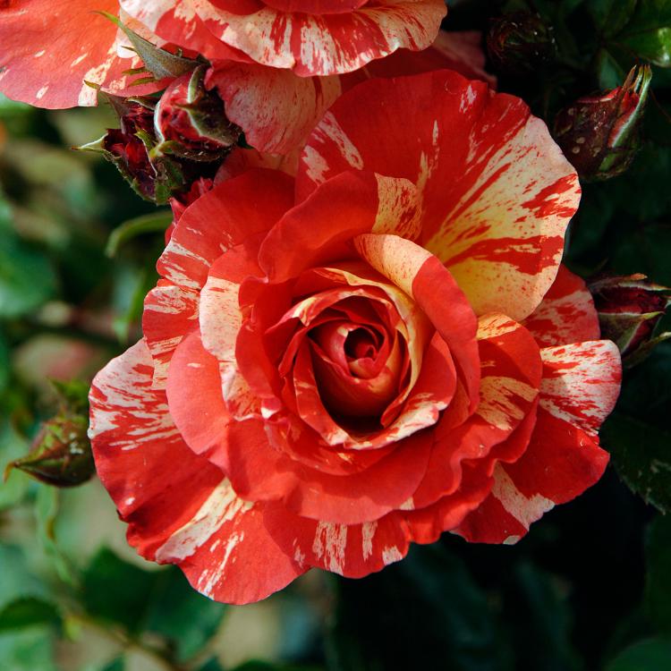 Un rosier qui vous propose des fleurs dont le rose pastel ...