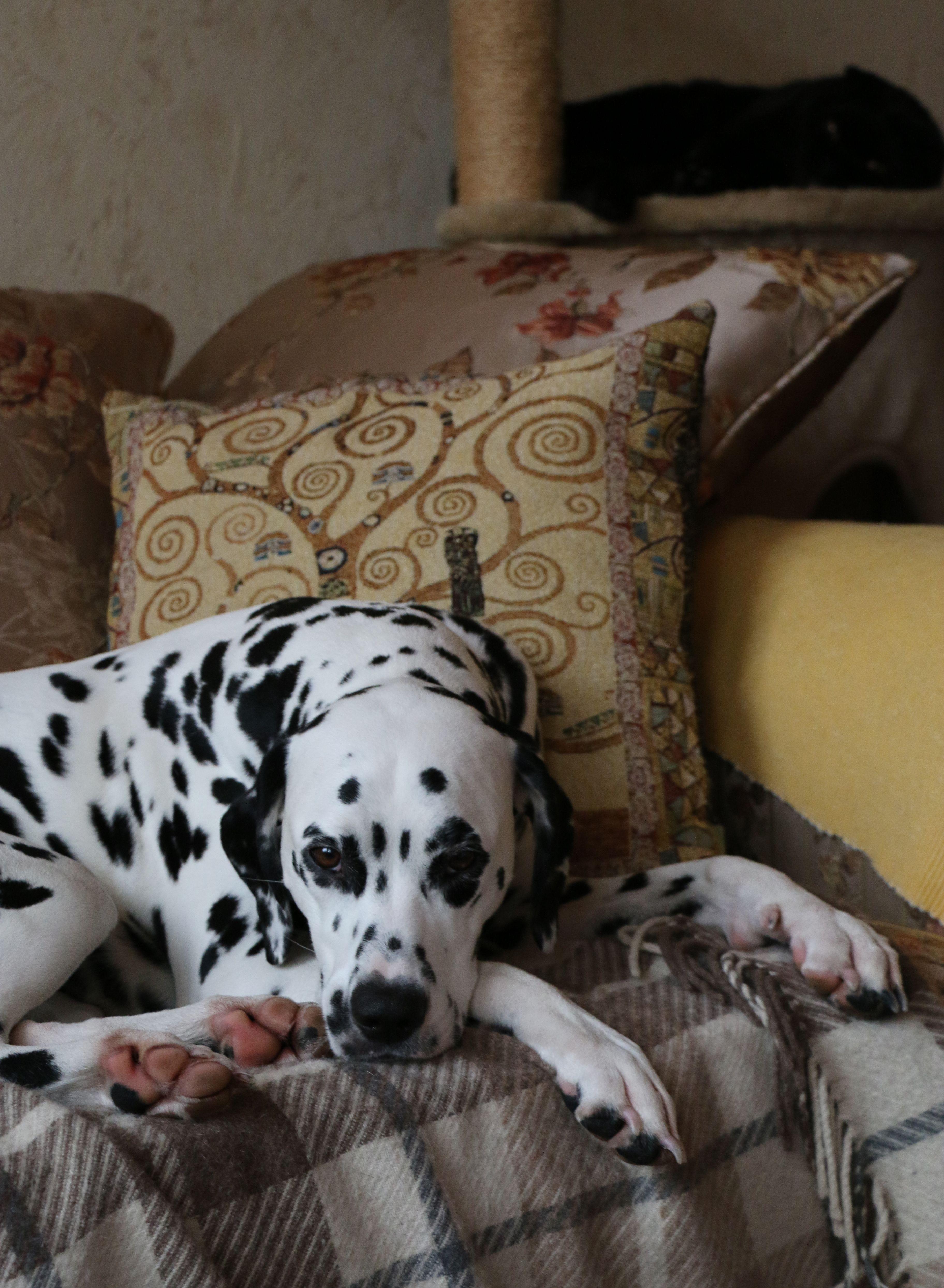 Lika And Leo Dalmatian Lika Pinterest Dalmatian Dogs And Puppies