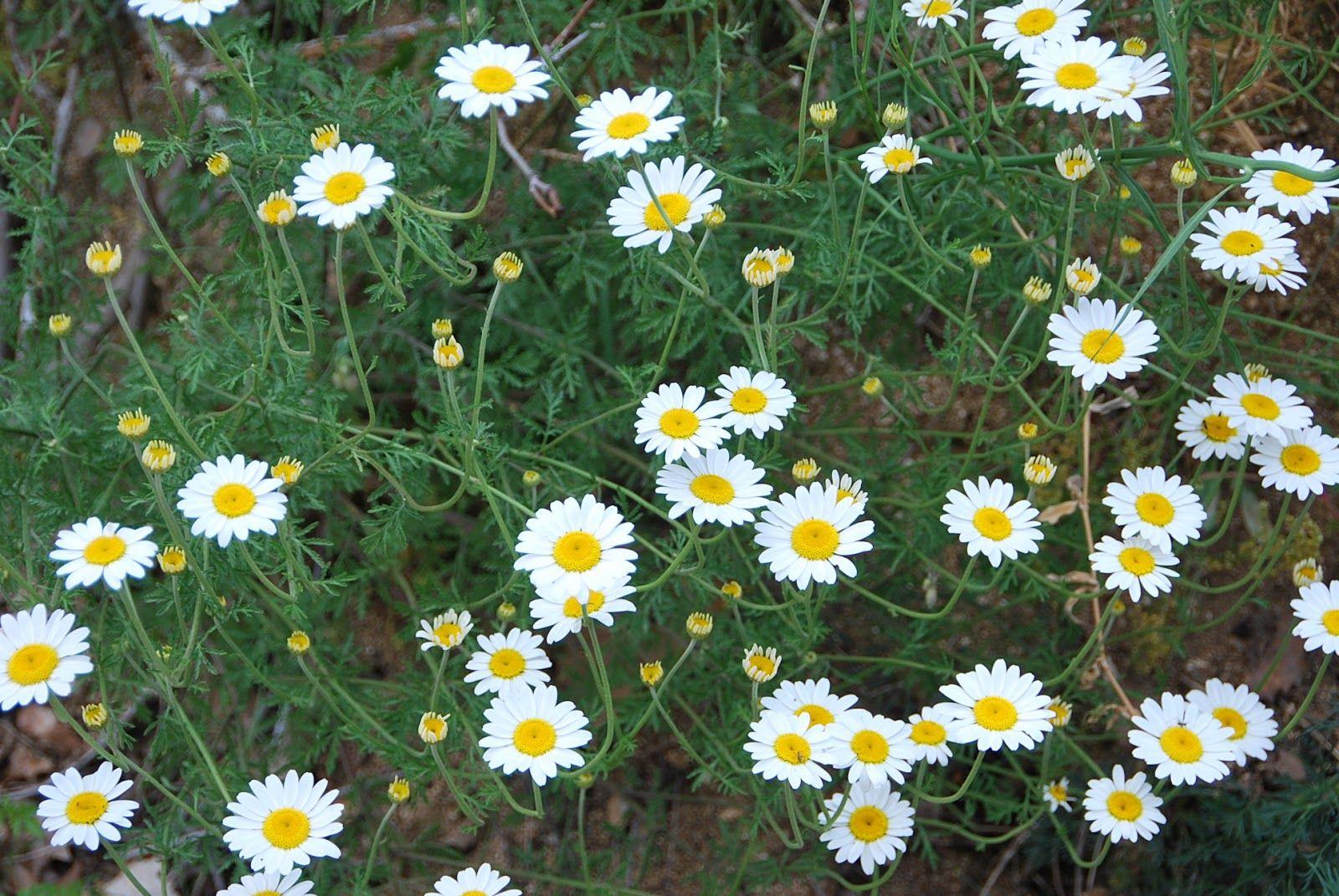 Margaritas De Colores En La Hierba 30995: Fotos De Flores 2: MARGARITAS DE VARIOS COLORES